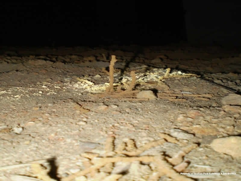 termite tube working its way up from ground in crawlspace